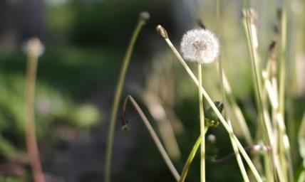cropped-cropped-dandelion_yard11.jpg