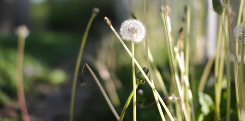 cropped-dandelion_yard1.jpg
